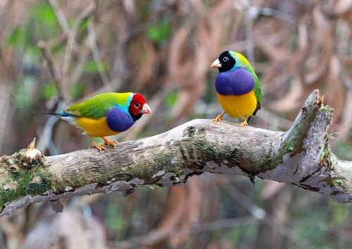 Australian Gouldian Finches