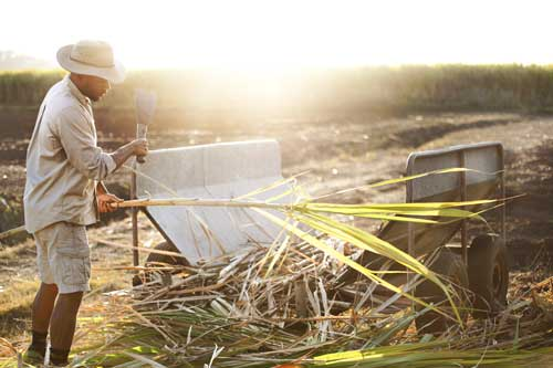 Handcut sugar cane
